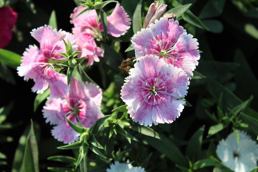 flowers, pink, flower, garden, herb