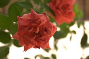 flower, rose bud, shrub, petal, pink, plant, blossom