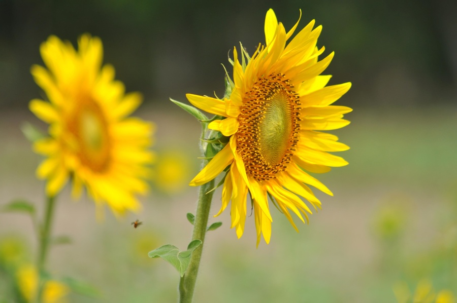 Girasol, hermoso, hierba, pétalo, verano, flor, jardín