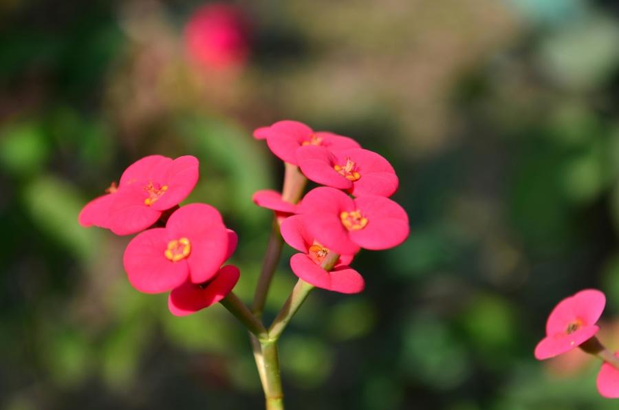 růžová, květ, okvětní, květ, květ, jaro, zahrada
