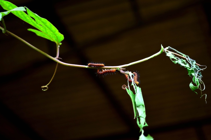 caterpillar, insect, leaves, branch, arthropod, animal