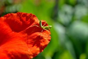 zelena, insekata, cvijeća, životinja, latica