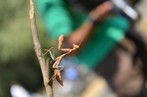 insect, praying mantis, arthropod