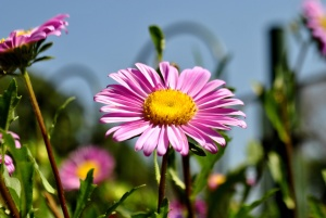 Fleur, marguerite, fleur, plante, prairie, jardin