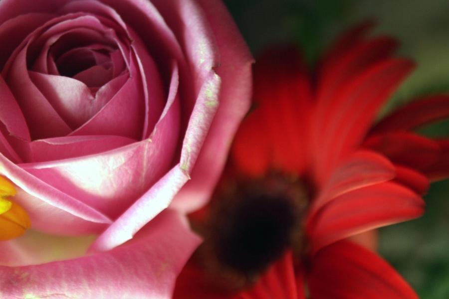 red, flower, petal, macro