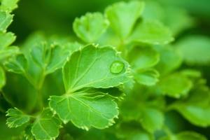 leaf, plant, dew, rain, herb