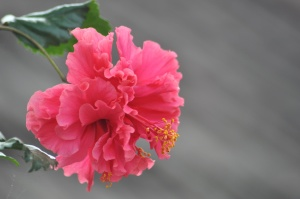 pink, flower, petal, hibiscus, blossom, bloom, plant, garden