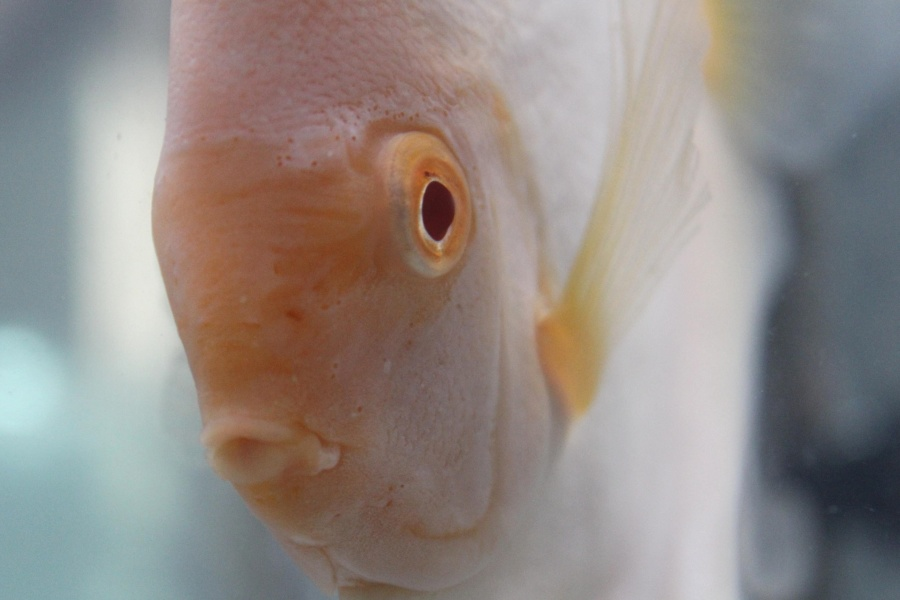 white, close, water, freshwater fish