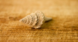 snail, seashell, invertebrate