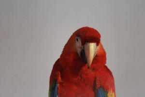 parrot, macaw, bird, colorful, animal