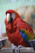 papiga, Makao, ptica, kljun, životinja, divljih životinja, perje, egzotične