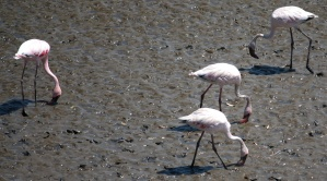 flamingo, bird, mud, bird, animal