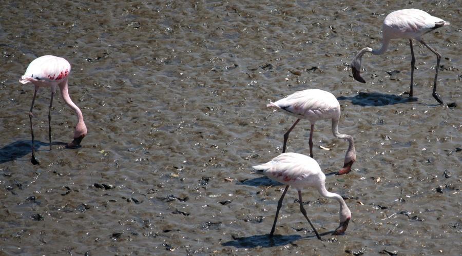 flamingo, bird, mud, bird, animal