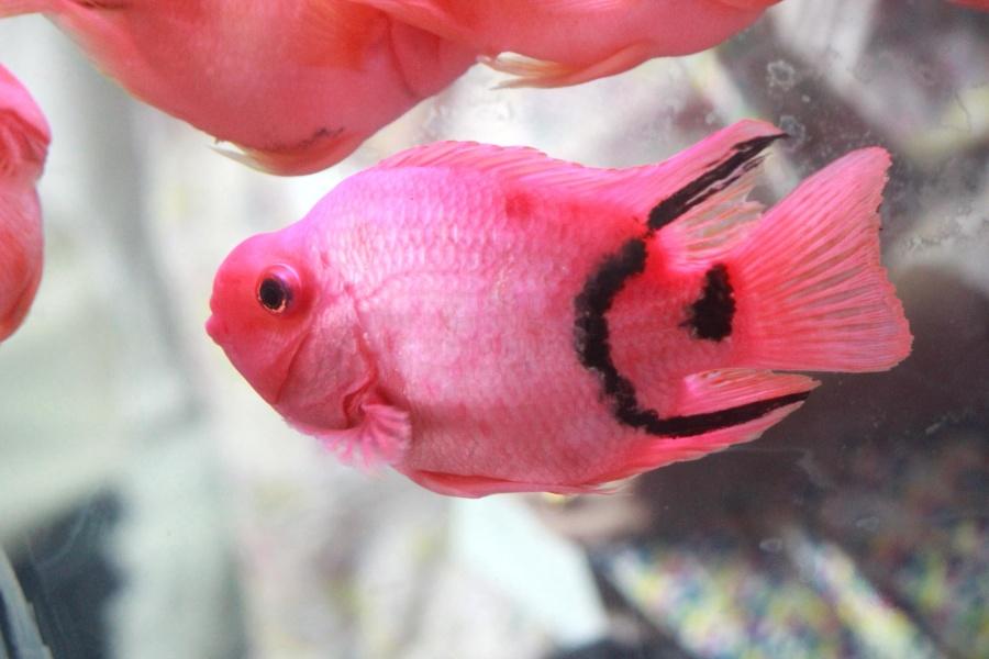 pink, fish, water, aquarium, animal