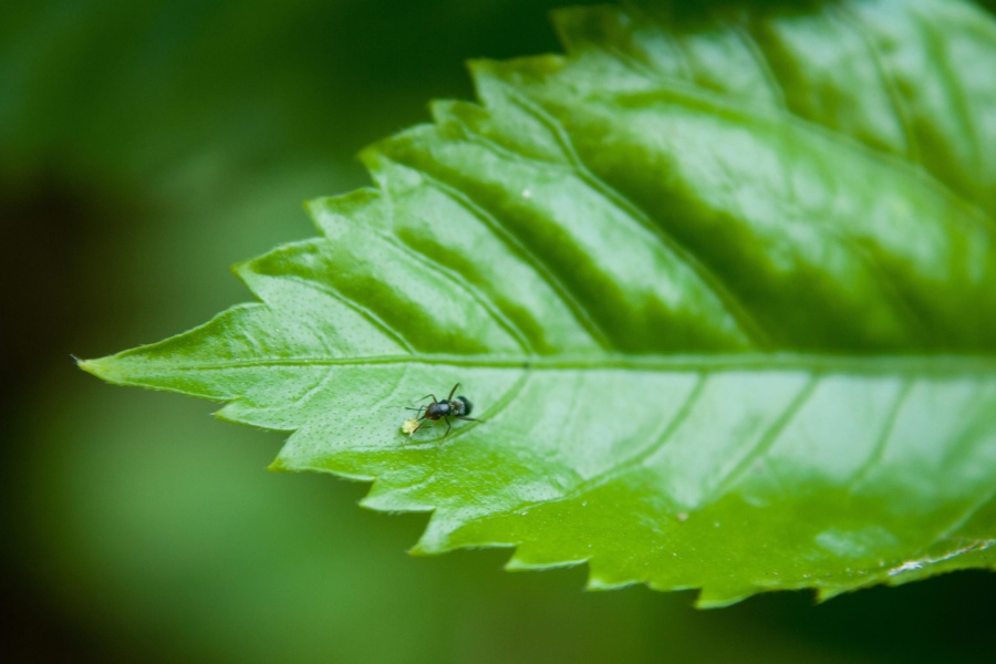 ant, leaf, green, herb, insect