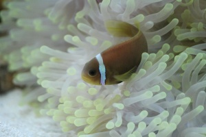 Poisson clown, aquarium, poisson, animal