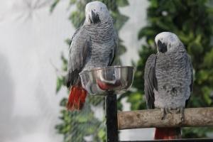 Gris, pájaro, pluma, loro