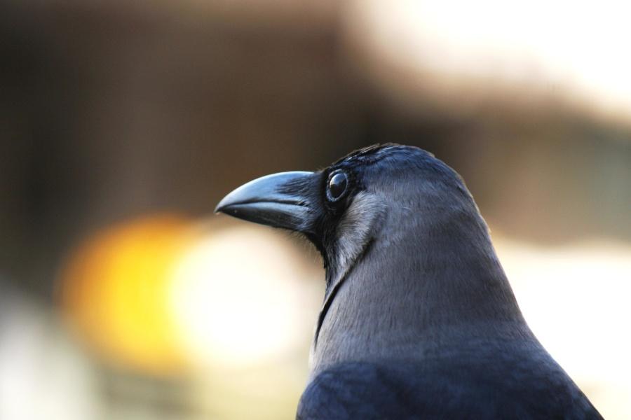 Crow, fugl, hodet