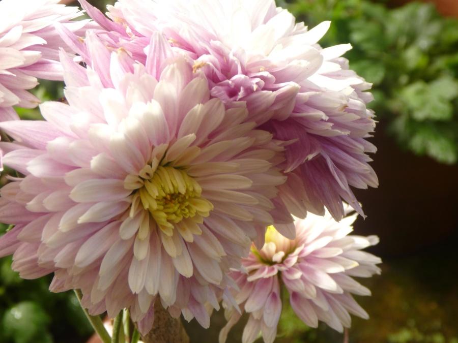 flower, blossom, garden, blosom, pistil, nectar