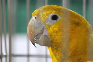 yellow, bird, cage, parrot
