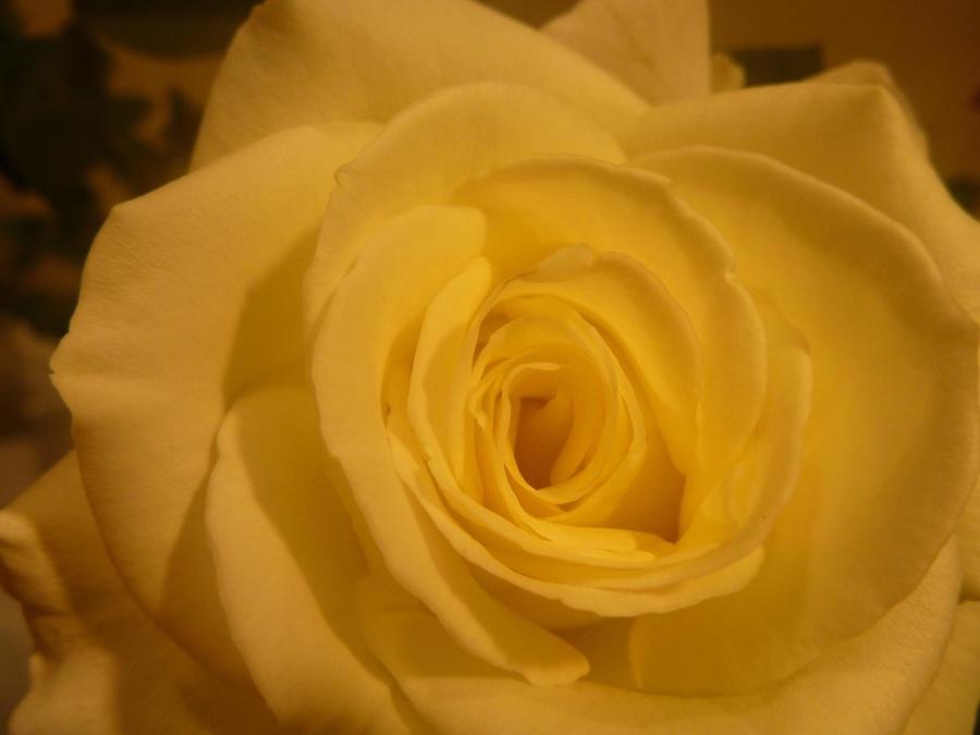 yellow, rose, flower, petal, herb