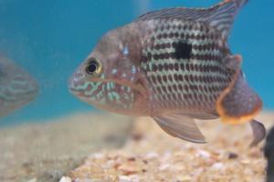 Underater, pez, animal, peces de agua dulce
