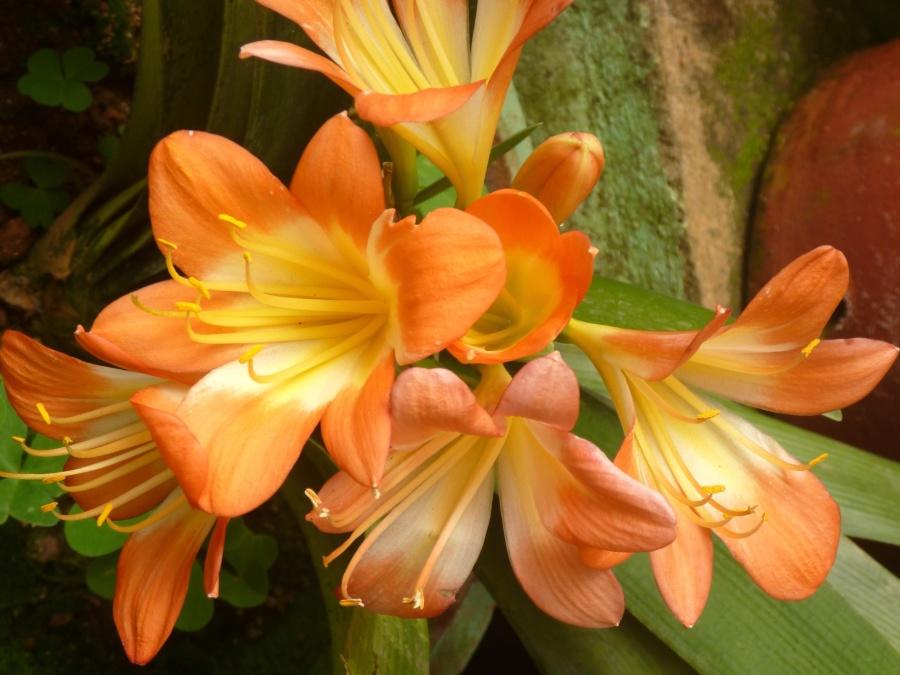 flower, lily, herb, pistil, petal