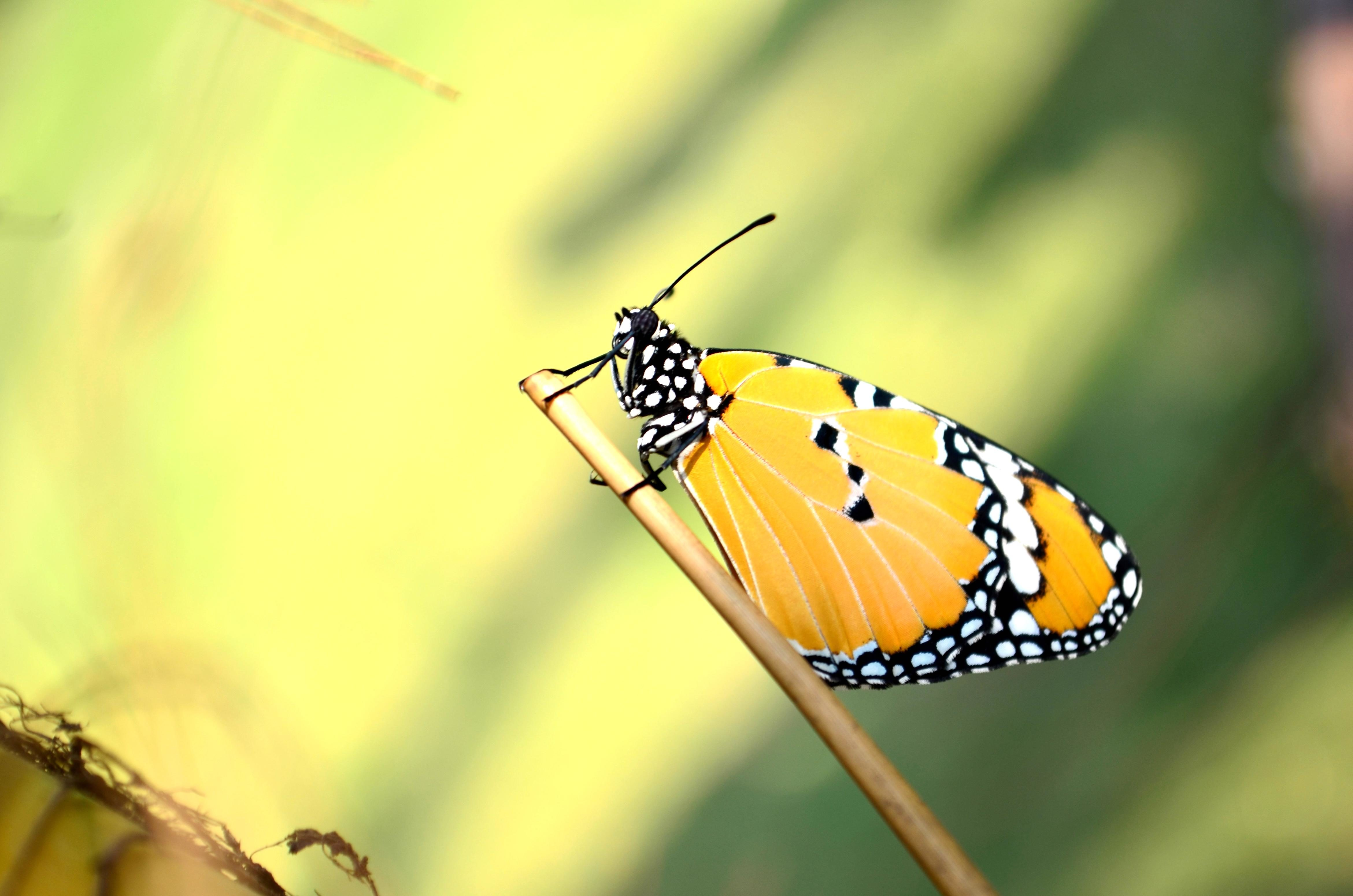 free picture butterfly metamorphose insect wing colorful