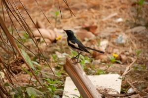 Oiseau noir, animal, faune, oiseau