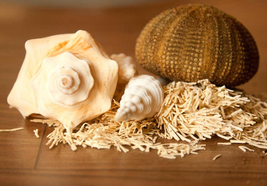 seashell, sea urchin