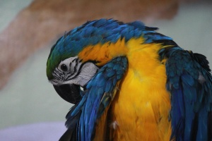 blue, yellow, macaw, parrot, bird