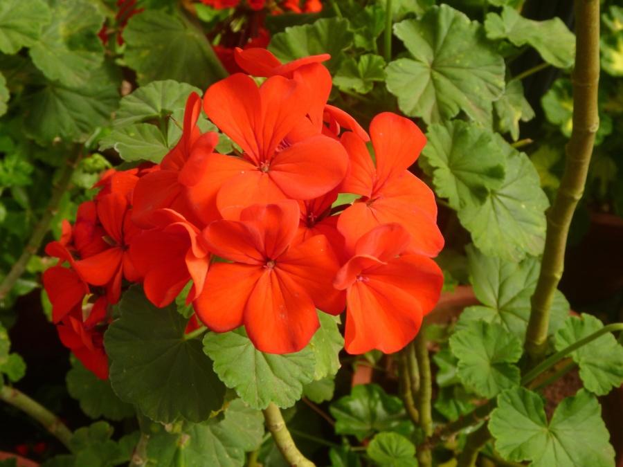 flower, red, grass, flower, petal, ornamental, flower, ornamental, flower