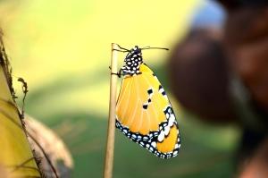 Motyl, piękne, monarcha motyl, owad, skrzydło