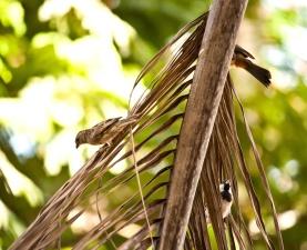 Vrabac, ptica, Palma