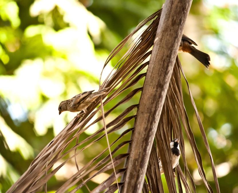 sparrow, bird, palm tree