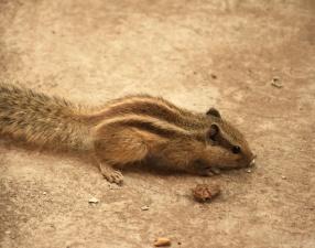 Eichhörnchen, nagetier, tier, niedlich, pelz, wild lebende tiere