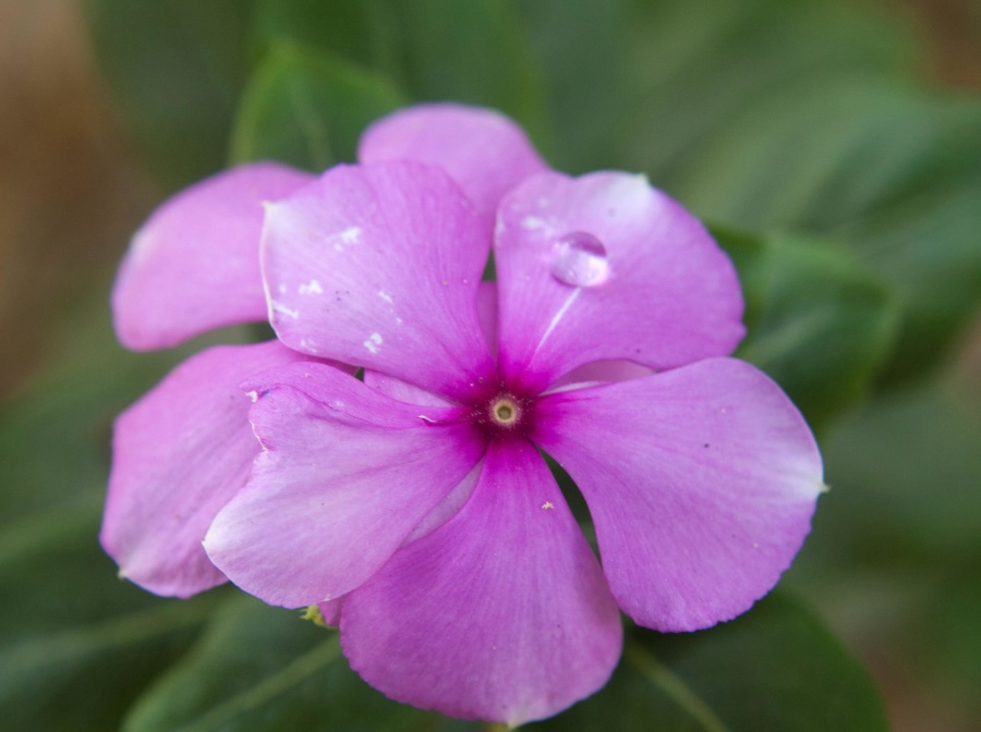 dew, flower, petal, plant, bloom, garden, flora