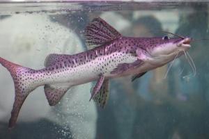 Pesce gatto, acqua, subacqueo, pesce, acquario