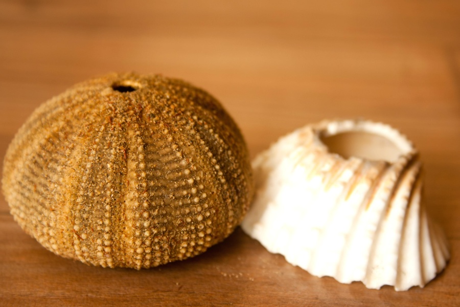 seashell, mollusk, brown, close, sea urchin