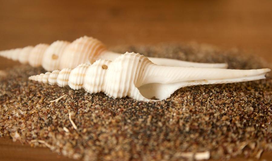 seashell, snail, sand, still life