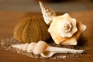 seashell, conch, mollusk, still life