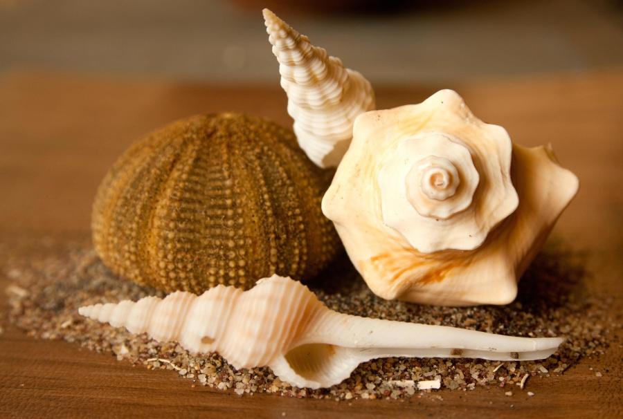 seashell, conch, mollusk, still life