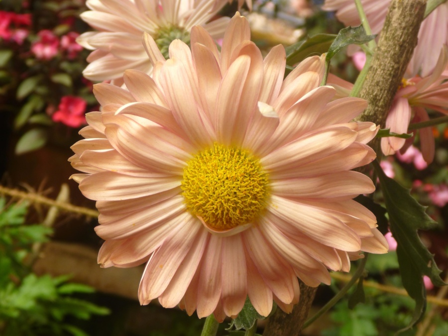 beautiful, flower, daisy, blossom, plant, bloom, petal, garden