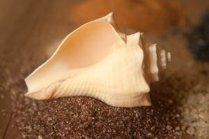 conch, seashell, gastropod, mollusk, invertebrate