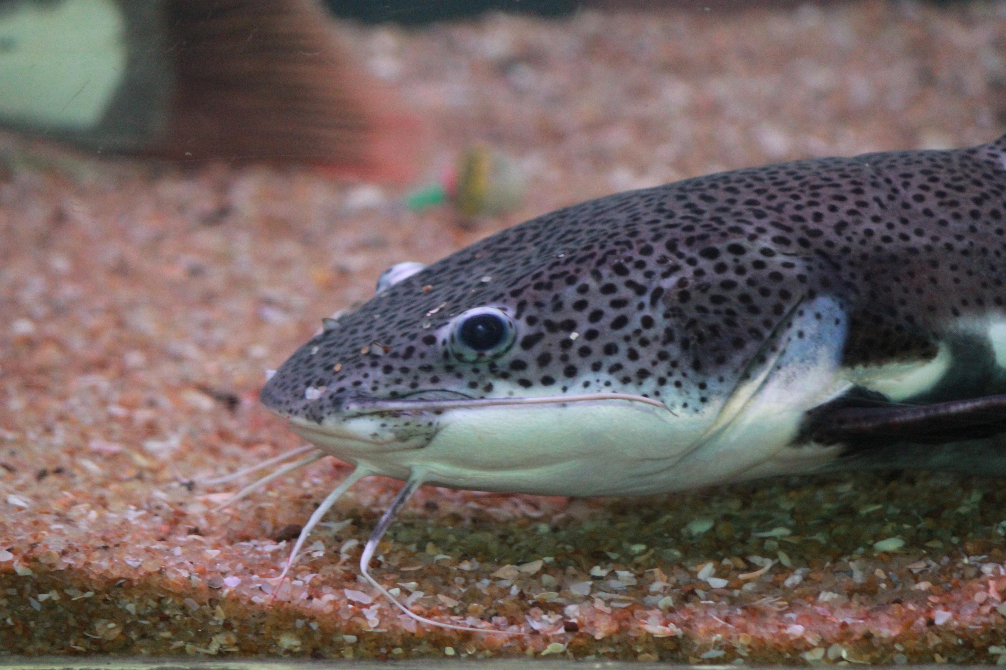 Foto gratis pesce gatto pesce animale subacqueo acquario for Pesce gatto acquario