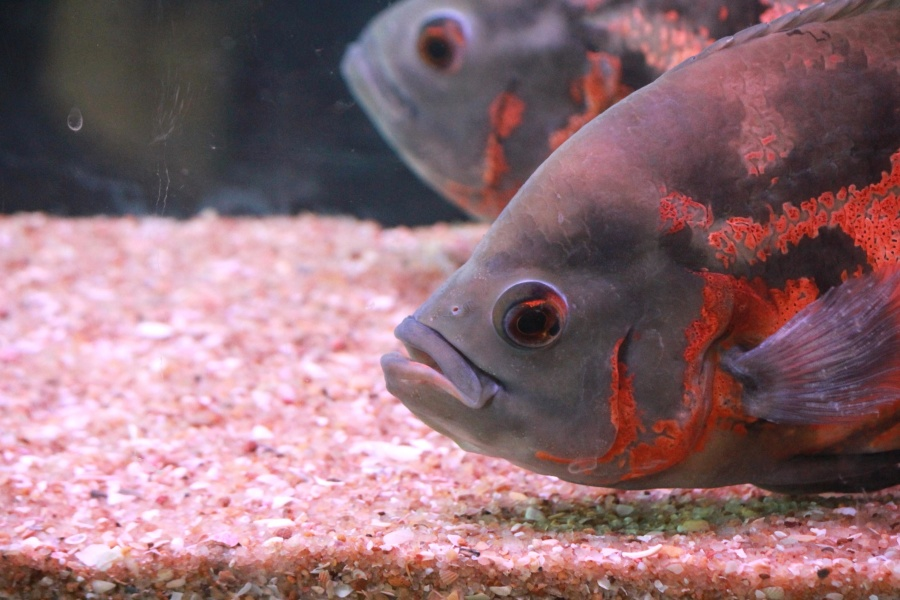 orange color, fish, underwater, animal
