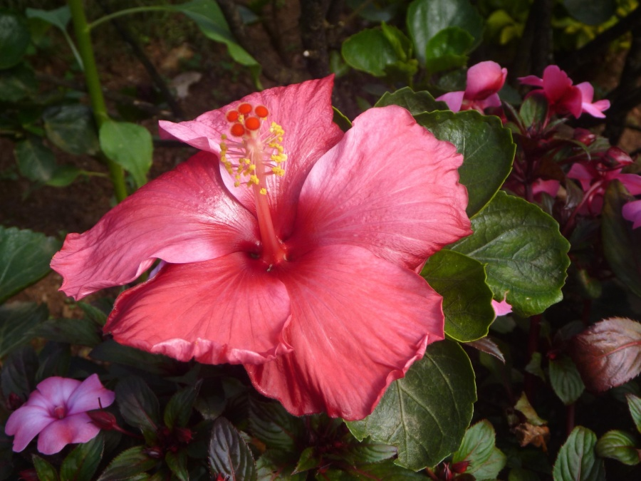 hibiscus, red, color, flower, herb, blossom, garden, pistil, pollen