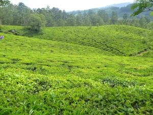 Tè verde, piantagione, collina, paesaggio, campo, erba, prato, agricoltura
