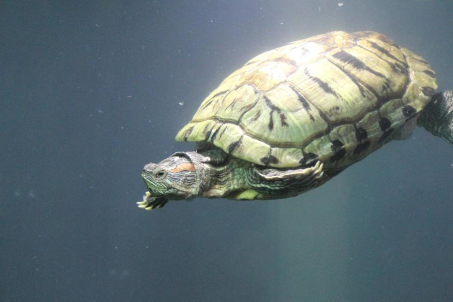 turtle, water, animal, reptile, underwater