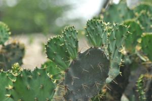 cactus, leaf, plant, herb, thorn, green
